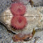 Strawberry Anemone and Edible Crab