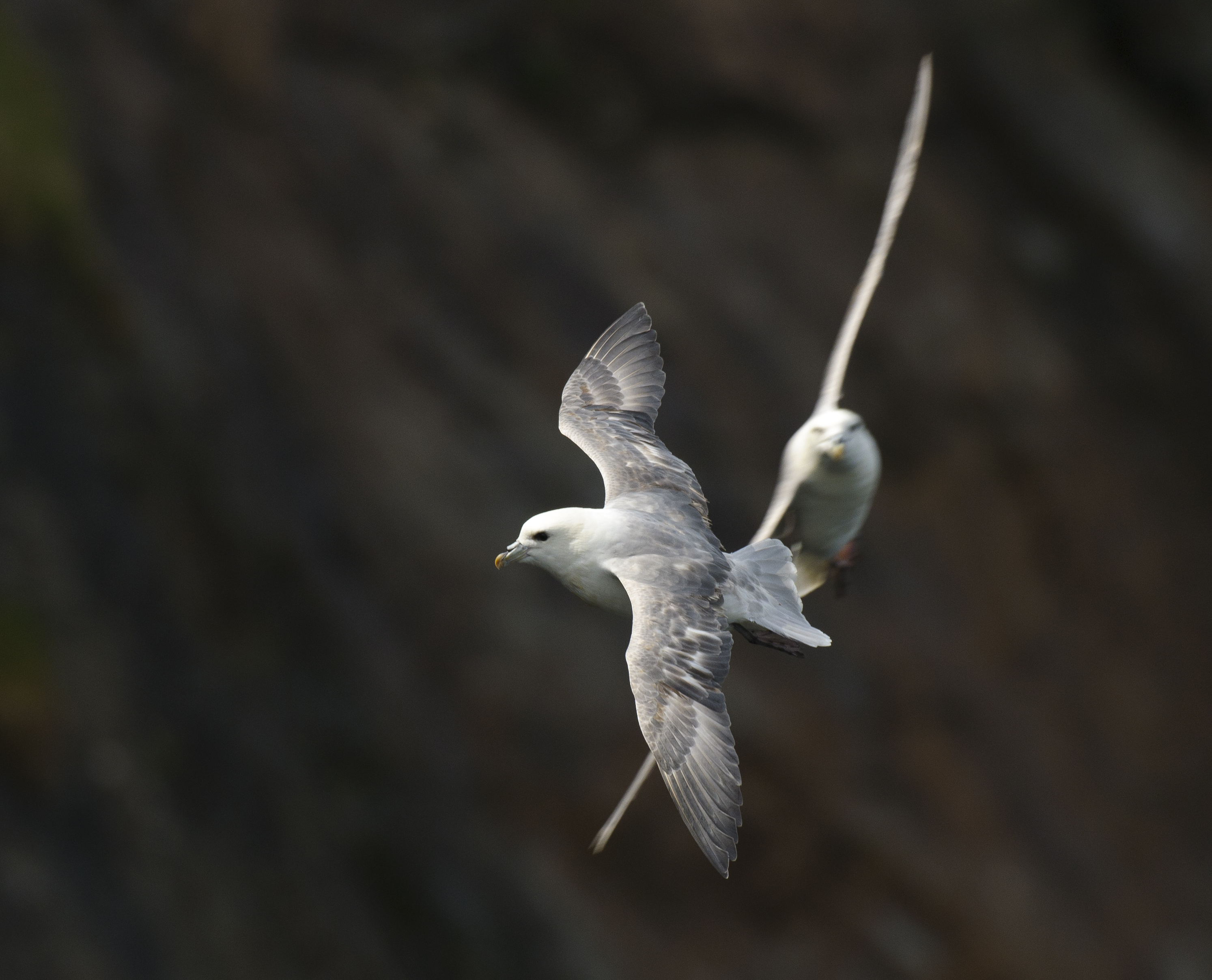 Fulmar in Flight by Dan Murphy