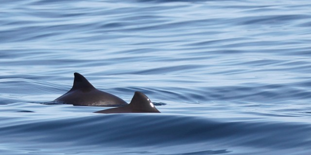 Harbour Porpoise by Niki Clear